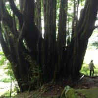 大きい木の画像